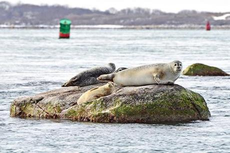19capewinter - Bundle up for a boat ride in Buzzards Bay, and you're likely to see grey and harbor seals that have migrated to the Cape's warmer waters to feed. (Buzzards Bay Coalition)